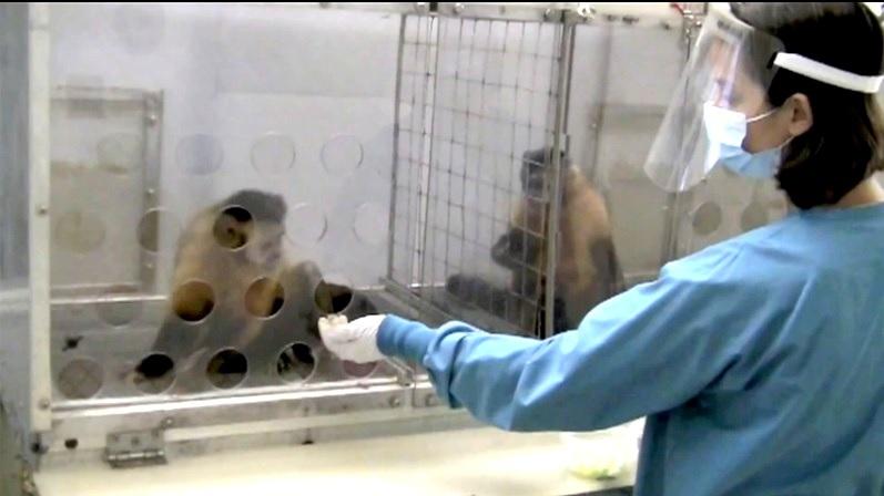 Los simios tienen sentido de justicia y se quejan si no la hay