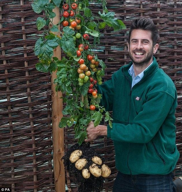 Crean planta híbrida que produce tomates y papas