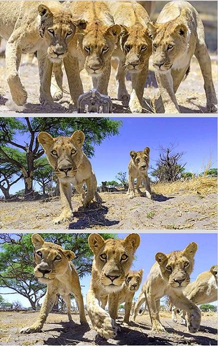 Video del encuentro de una cámara DSLR y unos leones hambrientos