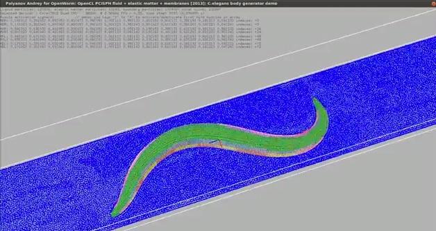 Gusano, simulado digitalmente célula a célula, se mueve por primera vez