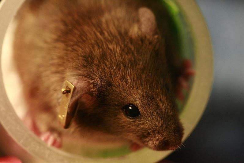 Logran rejuvenecer roedores de laboratorio