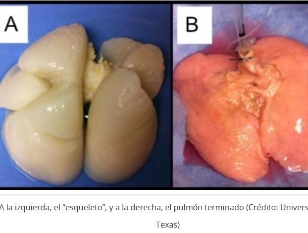 Desarrollan por primera vez pulmón humano en laboratorio