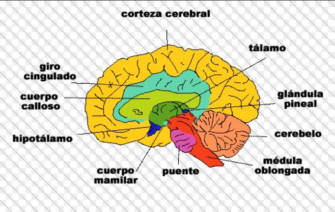 Establecen relación entre el cociente intelectual y la corteza cerebral