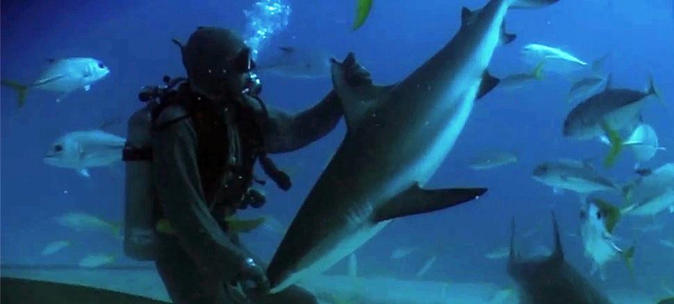 Vea a un buzo poner en trance a un tiburón tocándole la nariz