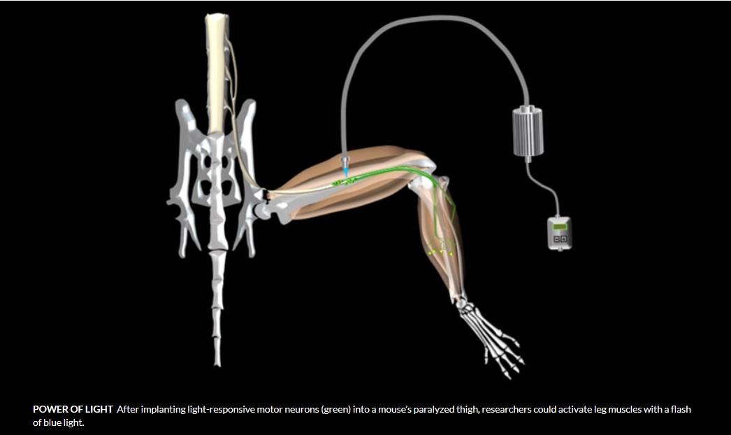 Curan parálisis en ratones con células madre y láseres