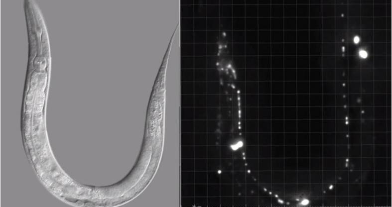 Mapean la actividad de cada neurona de un cerebro animal
