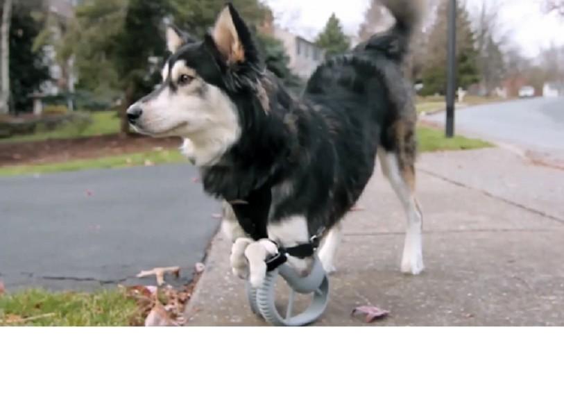 Perro inválido consigue nuevas patas impresas en 3D