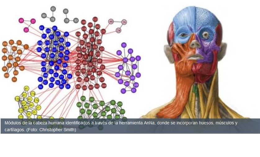 Crean estructura matemática y modular de la cabeza humana