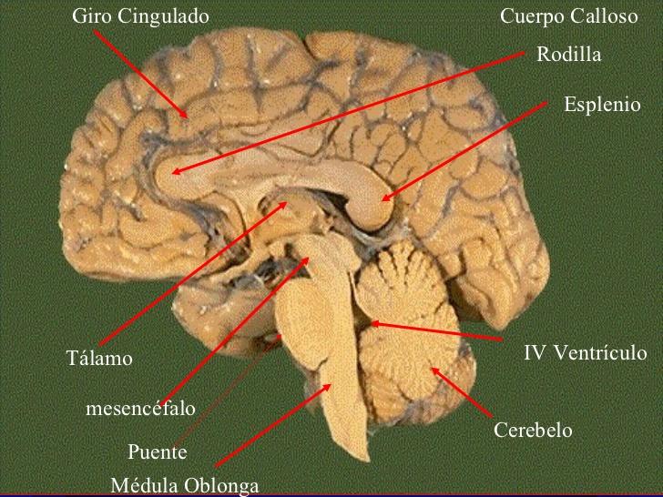 En qué parte del cerebro se crean las estrategias?