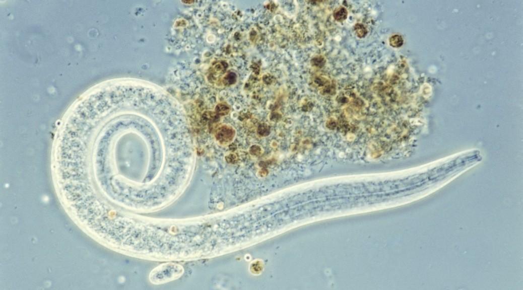 Logran controlar células cerebrales de un gusano usando ultrasonido