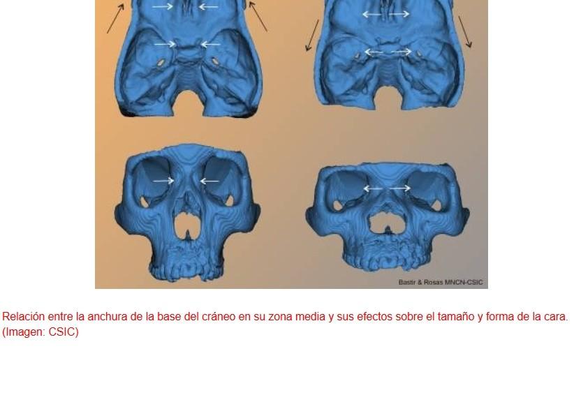 La evolución de la cara humana está estrechamente ligada a la del cerebro