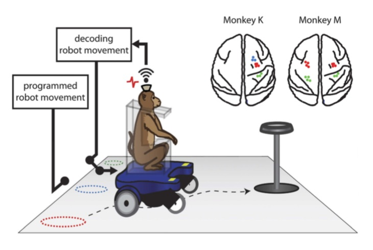 Un mono controla mentalmente una silla de ruedas robótica