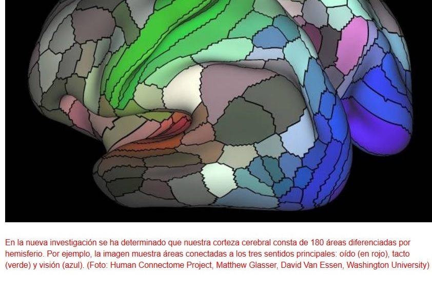 Aumentan al doble las regiones conocidas de la corteza cerebral humana