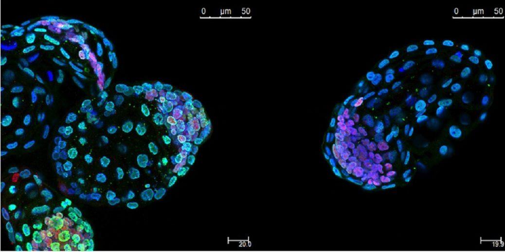 Científicos logran poner embriones de ratón en animación suspendida durante un mes