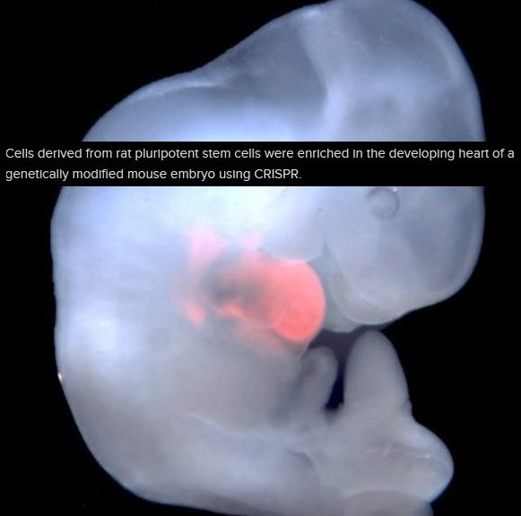Logran fabricar órganos humanos en cerdos