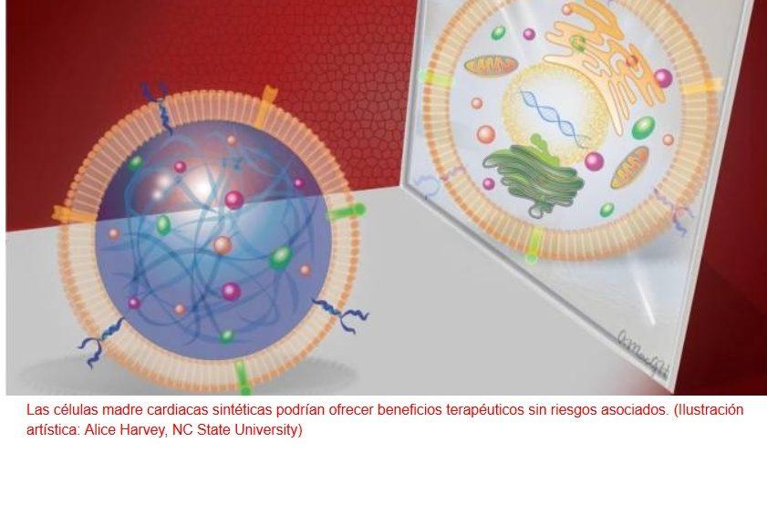 "Desarrollan ""células madre"" sintéticas"