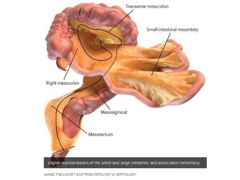 """Científicos confirman un """"nuevo"""" órgano humano"""