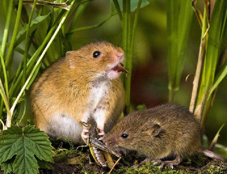 Logran desactivar el 'instinto asesino' en ratones