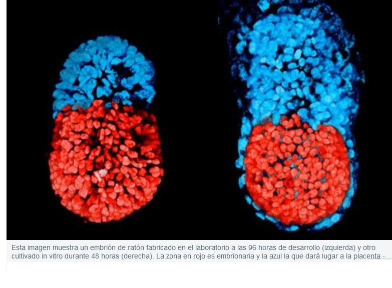 Crean por primera vez un «embrión» de laboratorio con células madre