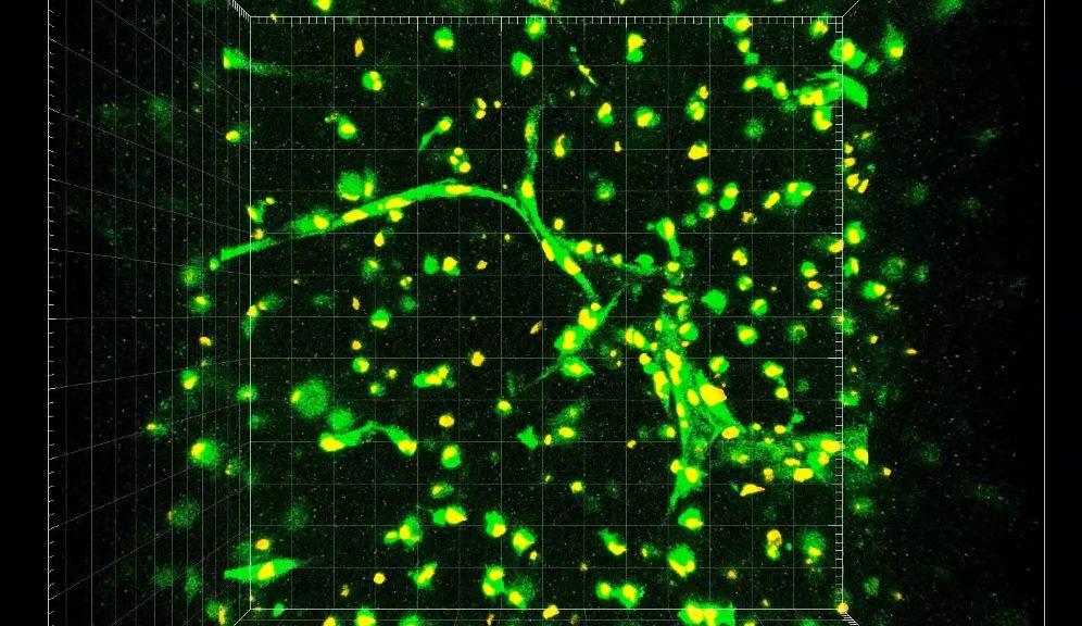 Investigadores se acercan a la fabricación de vasos capilares funcionales en órganos impresos en 3D