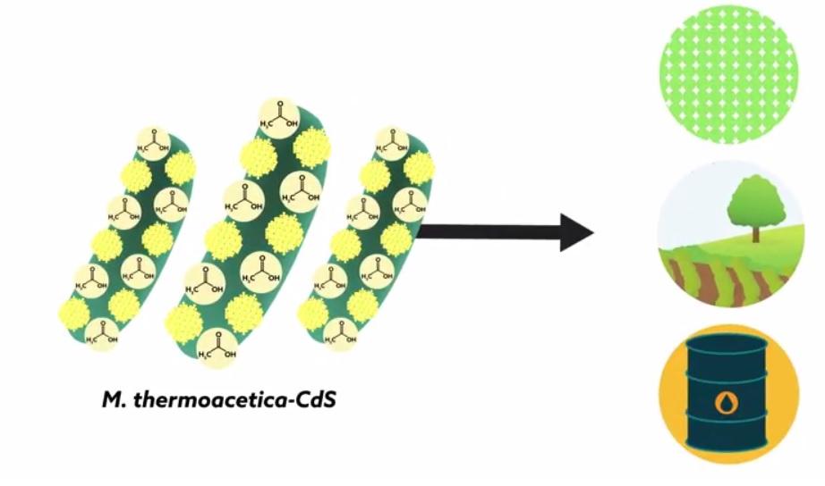 Bacterias super-accionadas pueden aprovechar la luz para combustibles y plásticos