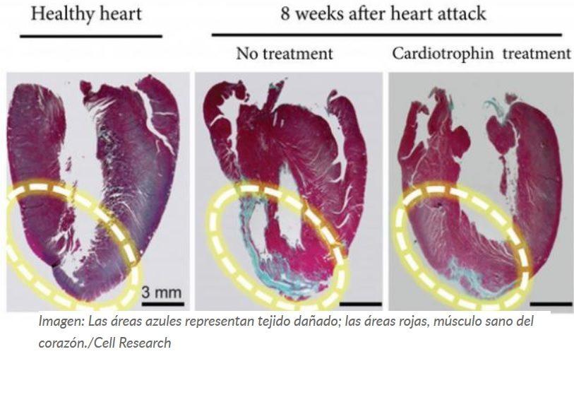 Descubren una proteína que 'engaña' al corazón para que crea que haces ejercicio