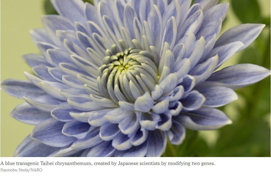 La ingeniería genética crea una flor anormalmente azul
