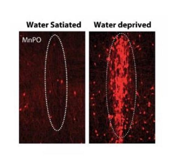 Descubren las neuronas que controlan la sed