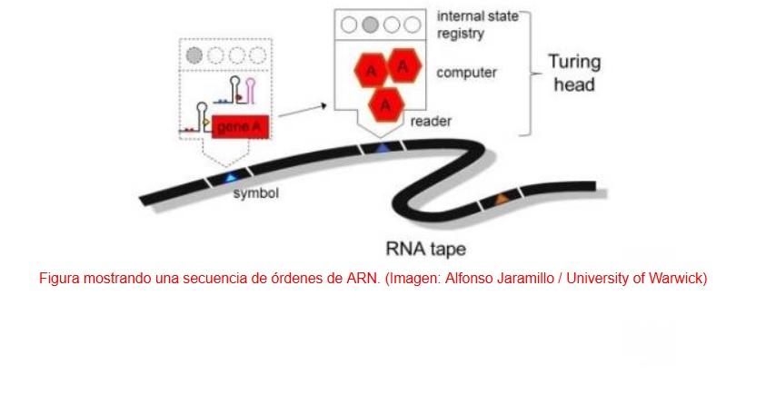 Programar a las células como a robots para que combatan contra el cáncer