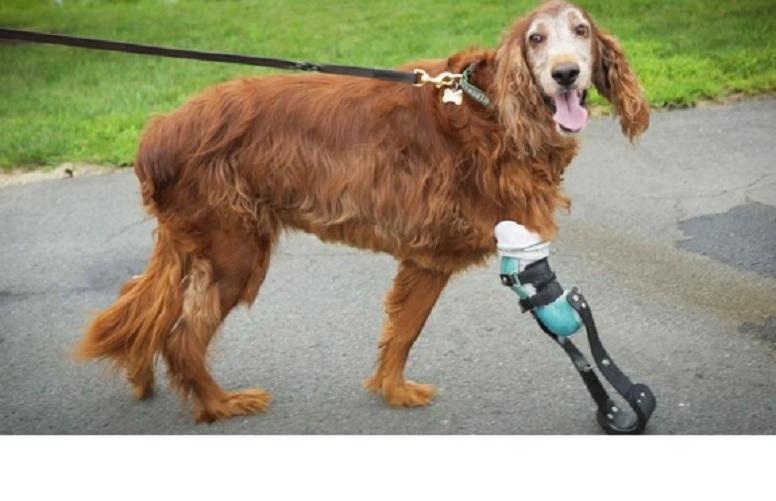 Perro sobreviviente de cáncer feliz con su prótesis perruna