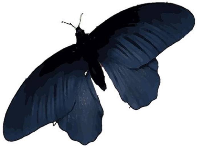 Las alas de la mariposa negra tienen el secreto para mejorar las células solares