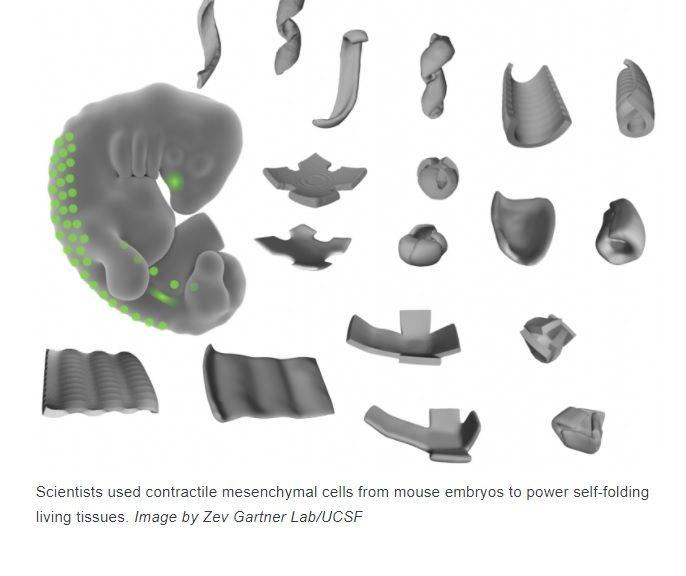 """Científicos """"piratean"""" células para crear formas tridimensionales a partir de tejido vivo"""