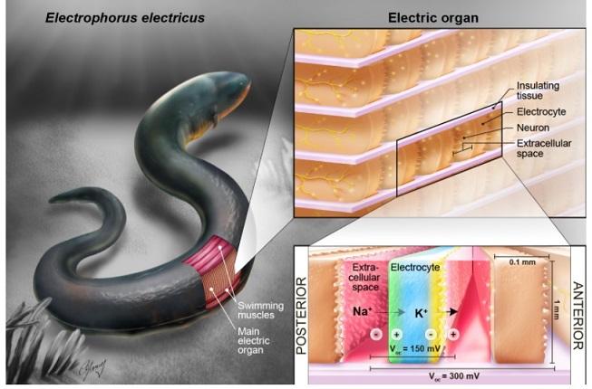 Las anguilas eléctricas podrían ser la clave para energizar los dispositivos implantables