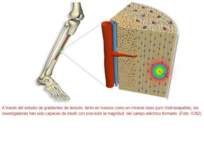 La flexoelectricidad activa el proceso de reparación de los huesos
