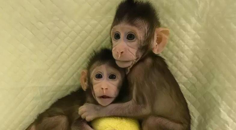 China acaba de clonar los primeros monos de la historia