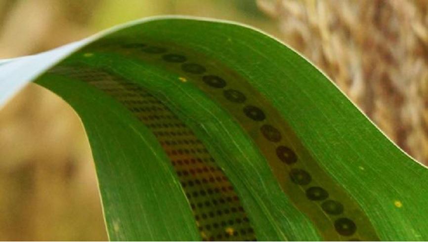 Sensores de grafeno crean un «tatuaje para plantas»