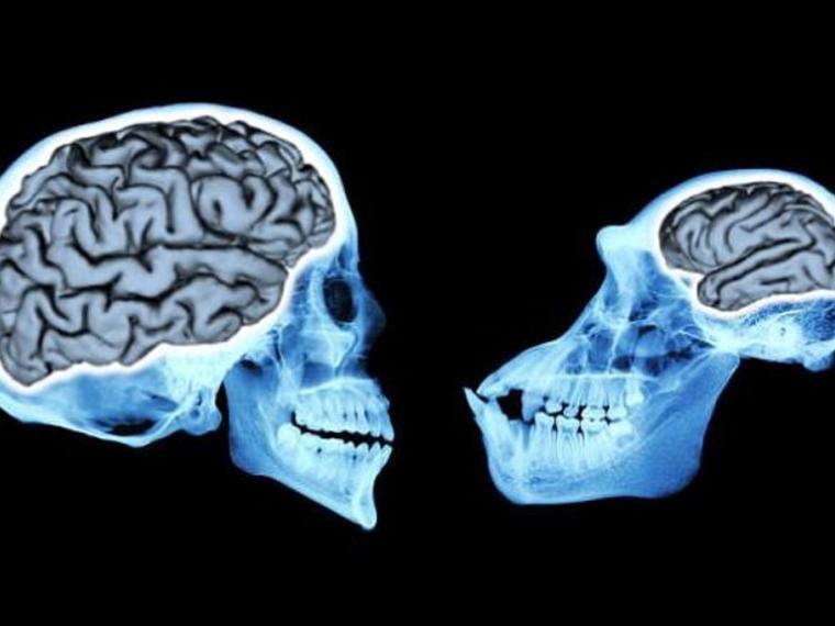Descubren por qué los humanos tenemos un cerebro tan grande