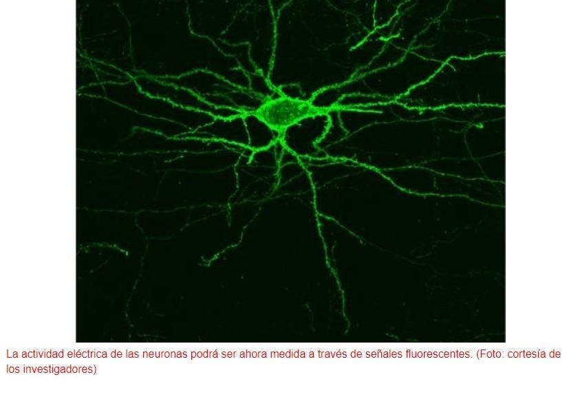 Logran ver la comunicación eléctrica de las neuronas sin usar electrodos